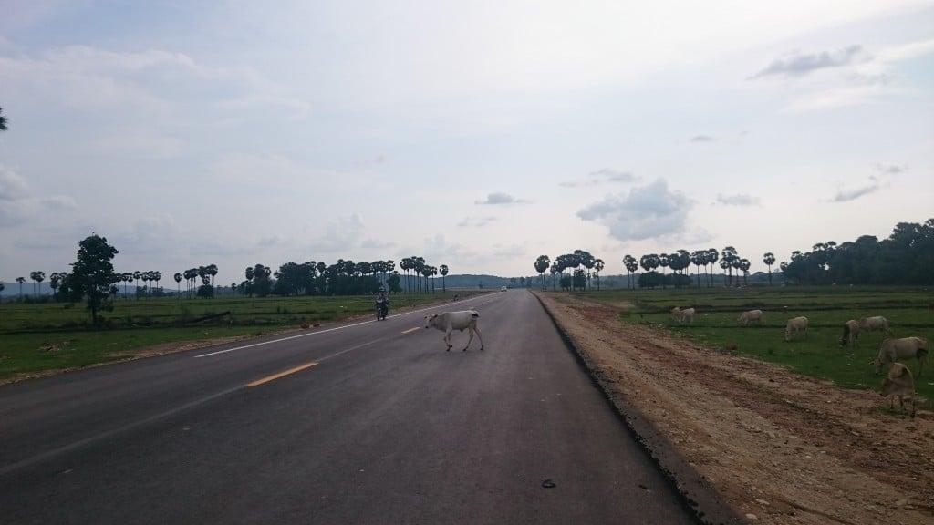 vachette traverse la route