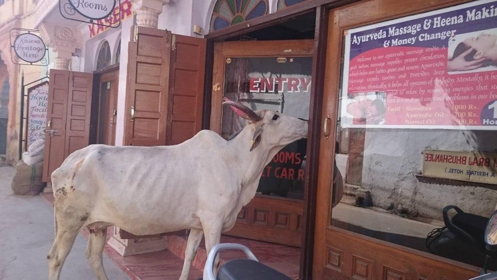 vache en Inde